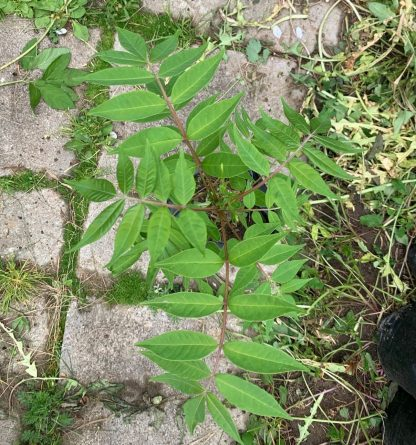 Бархат двух летние 2х летние саженцы трехлетние саженцы бархата амурского пробковое дерево купить в москве