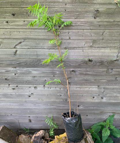 Бархат 3х летние саженцы трехлетние саженцы амурский пробковое дерево купить в москве